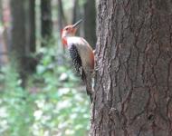 woodpecker in summer