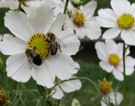 5x7-75-white-cosmos-with-bees-4e8b53ddedc53a5a3b1d41d70f5e15bfd85bf8c8