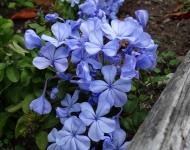 8x10-75-blue-phlox-ff26fb83de9742333a824d02800d1838e78ac3b0