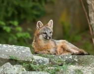 bp9a2415_grey-fox_summer_hawley-3bcbcd6879eccfd5e1980d5d7a6a2dd3dbaf4794