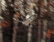 owl-in-flight-53ac3cd5349c27a1783663dc03fed4200f479877