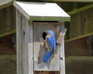 12-bluebird-2-d43cdba60385105e8873eb55d78895a0ee330088