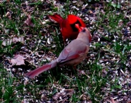 cardinals-241fc8ff208427d3e7542a1237459b9f4673ce1c
