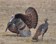 turkeys-39-of-1-ac93148d4f07a684ba8026fc0ba5c6123f551c75