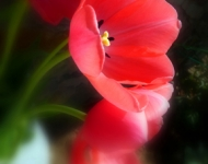 4x6-72-red-tulips_edited-1-copy-faf6e77a6425285c8e3f4e27053ad82f3e4046f0