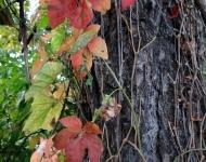 autumn-vine75-015378b959c04344456fa531087a4edd56ebb327