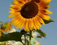 bee-in-sun-flower-ff7f2d96fc4aad6cd615dac9a16b39f080edfbad