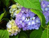 blue-hydrangea75-adb4cc355c39203e1a24cfa86626118fb3f0bc70