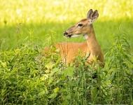 deer-1-656803aee263bd614c6fb2ffe8936fa78feb3aa1