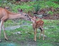 deer-babies-cdcd-6122014-111a-d93f3ed2693100dfa7bad0e2af68c94bce5897bf