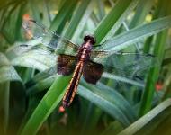 dragon-fly-greeting-56bb3ac641c10f3c58a335f38d7580e767f472f0