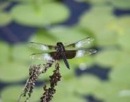 dragon-fly-lake-frances-nescopeck-state-park75-c5e6044cb78b20454c3c79a9b368a0070f59098b
