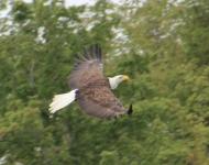 eagle-flying30048-x10-c3f8e2d917a5c516ce28a9035621e8158ab76942