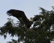 eagle-in-tonys-tree-spread19338x10-2f04684d3a4c0f152060b3d16cbbea9dfb0c9739