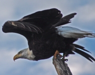 eagle-modified-by-kristie-2857-5-x-7-fe40ee738c5e2eaecb901374aec0fca1d65151a9