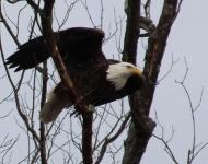 eagle-taking-off851-t3i-8-x-10-354a14c3f5bb12ea0a61f20a572fa1b147dffe66
