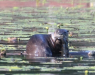 otter-with-fish-larger-5286-8-x-10-eef4ddb37beac683565efeca825bec0a01904876