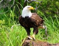 shohola-eagle-05188a775af542062e73958e745cdc3fad13fe79