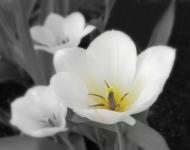 tulip-trio-75edited-1-e3359f1a168b74108270b615f6b74bc5878f5fcb