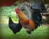 vignette-rooster-7dbedfd2e3e47c75fe744f13c64bbfafbd509b07