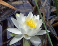 white-lily-ice-lakes-75-3-bd4f8f8df3119f81fe4431d4121bbad534326de7