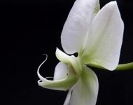 white-orchid-i-75-dc843683c93ff47d63736857c21b3d7d5d9498fd