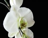 white-orchid-ii-75-fb0130b4ee5846f9d55e3e497454faa5ff0a7959