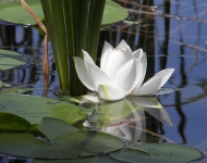 white-waterlily-75-nsp-609e35cdf14ef895cffe95b9fd6ab66ac6b63205